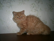 Британские длинношерстные котята